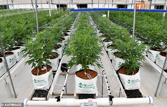 The product will be reclassified from a prescription to non-prescription drug by being down-scheduled from Schedule 4 to Schedule 3 by the end of 2021. Pictured: Cannabis plants growing at an approved farm on the Sunshine Coast