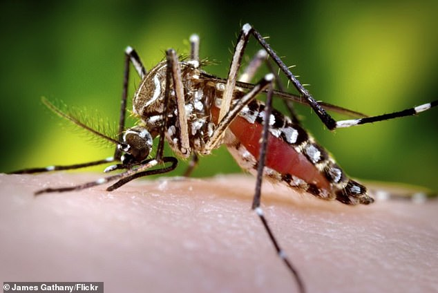 An aedes aegypti, also known as the the yellow fever mosquito. It can that can spread dengue fever, chikungunya, Zika fever, Mayaro and yellow fever viruses
