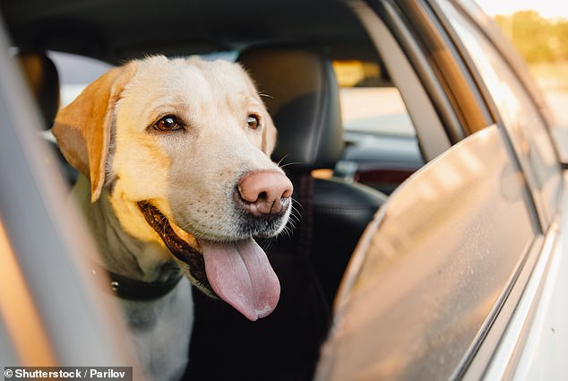 The driver was travelling in a Nissan Pulsar along Stirling Hwy at Peppermint Grove when they were pulled over by Western Australian police for taking a picture of their dog (stock image)