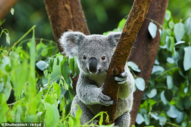 The National party has announced its MPs will abstain from voting on government bills until changes are made to the koala protection policy