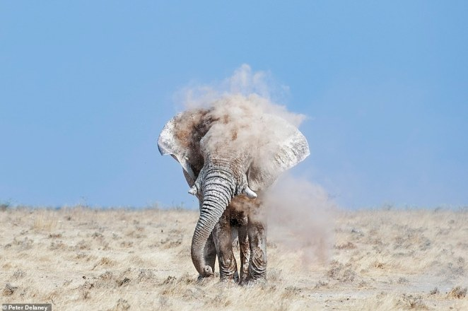 This incredible picture shows an elephant taking a dust bath in Etosha National Park.Next, Peter intends to travel to Tanzania, when it is safe to do so, to seek out some of Africa's stunning big tusker elephants