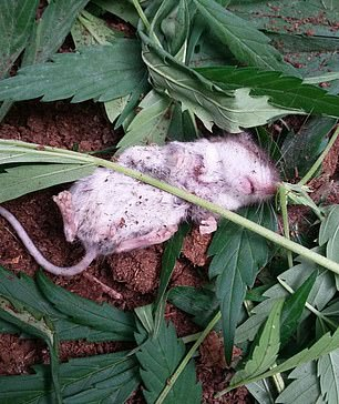 Photos captured shortly after show the rodent lying in the middle of a heap of leaves, completely comatose