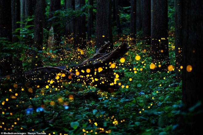 'Dance' by Naoya Yoshida earned the photographer a gold award. Yoshida's image captured the alight fireflies of Japan's mountainous regions.'The flash of the fireflies is very fast and beautiful. It's something I look forward to every year,' she said.