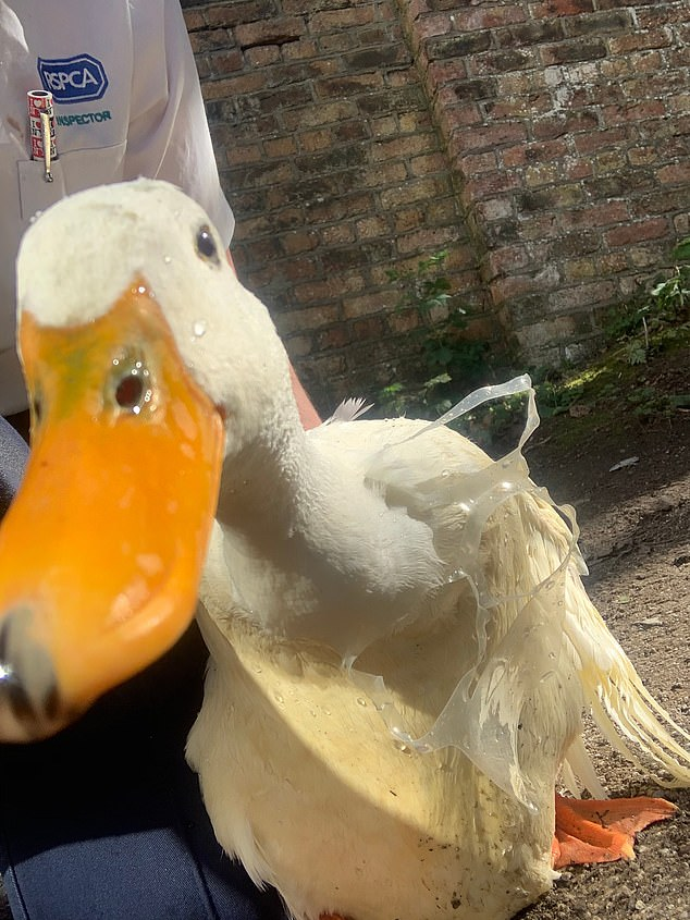 A duck has been saved by the RSPCA after getting stuck with a plastic ring around its neck (pitured)