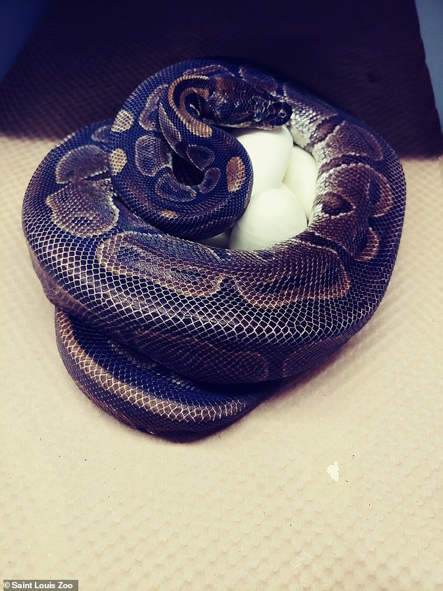 St. Louis Zoo in Missouri announced a joyous, yet shocking event – a ball python that has not been near a male in 15 years laid several eggs. The snake is also 50 years old, making the occasion very rare due to the fact this creature does not typically give birth around this age