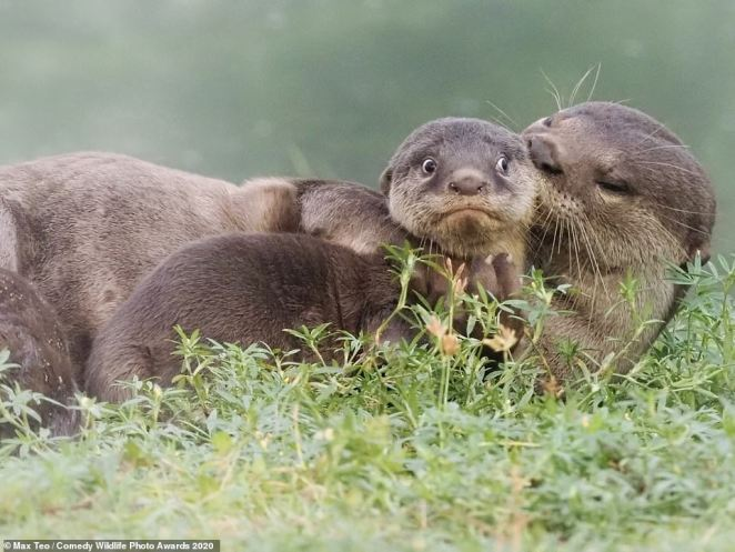 This baby otter looked absolutely terrified and very upset as its mother groomed it in Singapore. Max Teo aptly titled his shot 'It's the Last Day of School Holidays.'