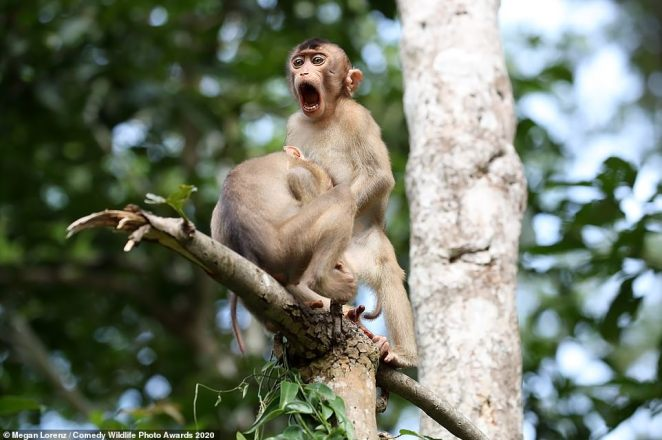 Monkeying around! These two macaques, pictured in Borneo, Malaysia, looked as though they were engaged in something very naughty indeed