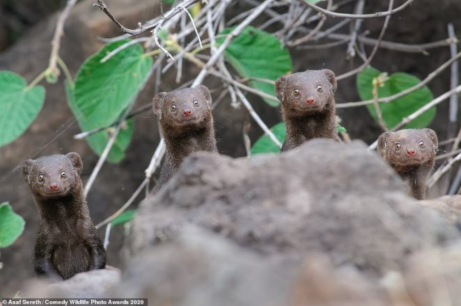 These four dwarf mongooses looked like statues as they all stared straight ahead from behind a log at Lake Bogoria, Kenya. The photo is called 'Surprise Smiles' thanks to the animals sweet expressions