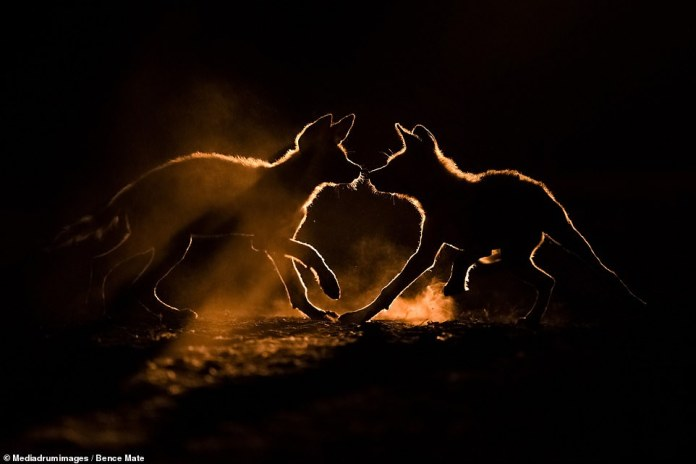 'Lights and Shades' by Bence Mate. The Hungarian wildlife photographer's picture of a pair of wild dogs playing in the twilight
