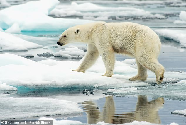 The thaws were starting earlier and the freezes coming later. For the polar bear, which relies on the northern sea ice as a platform from which to hunt seals, this is devastating