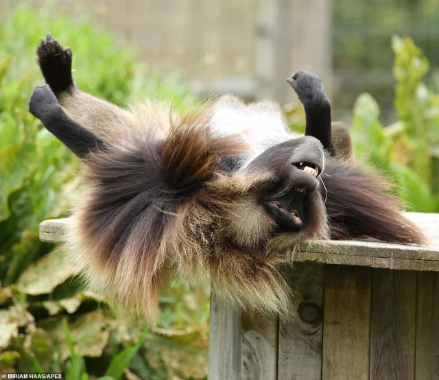 Happy days: Normally found in the mountains of northern Ethiopia, this male is one of six at the Gloucestershire wildlife park