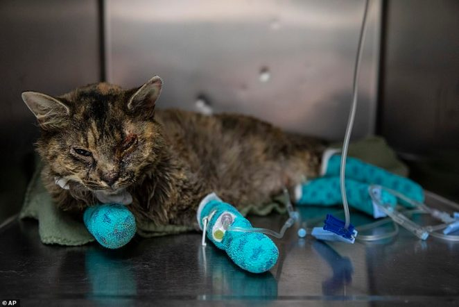 A burned cat temporarily named Chestnut is seen recovering from her injuries at the Southern Oregon Veterinary Specialty Center (SOVSC)