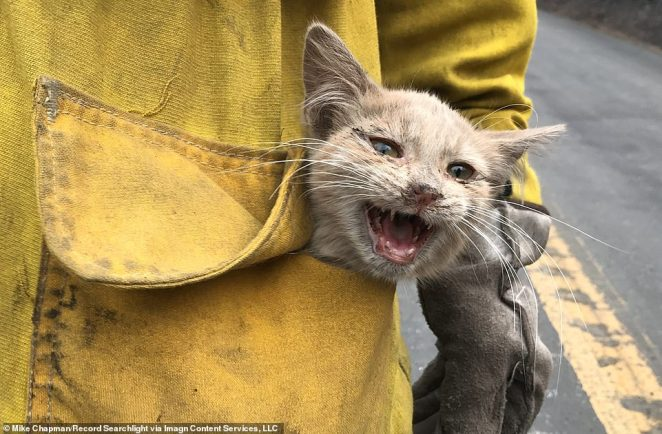 Los Angeles County Fire Department Captain Daniel Trevizo (pictured) last week found an injured kitten while his team was cleaning up an affected area in the North Complex
