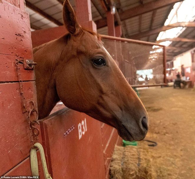 A wildfire evacuated horse looks out of a stall at the Douglas County Fairgrounds in Roseburg as around 94 active wildfirs burn across the West Coast this month