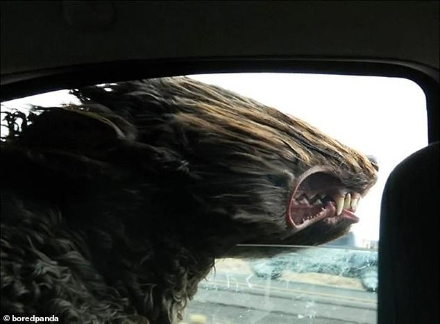 This curly-haired pooch was so determined to feel the wind  on his face he decided to ignore the fact he could not see through his windswept fur. Pictured in an unknown location