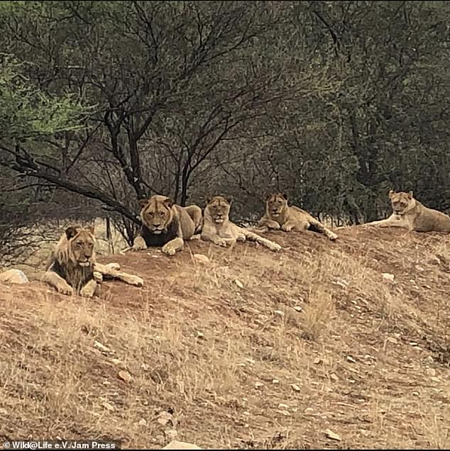 Canned hunting is a fast-growing business in South Africa, where thousands of lions are being bred on more than 160 farms to be shot by wealthy foreign trophy-hunters. Above, the lions in their new home