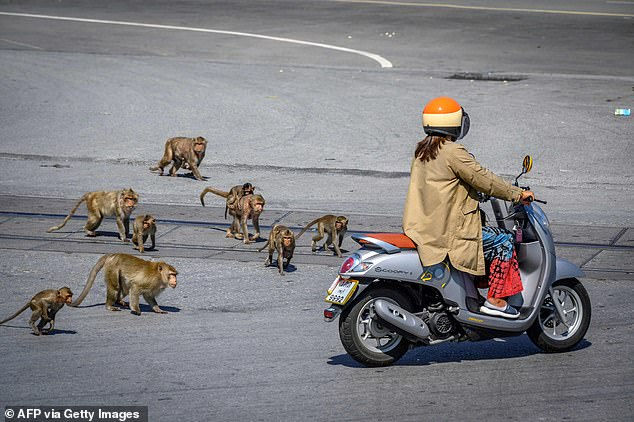 This picture taken on June 20, 2020 shows longtail macaques chasing a woman on a scooter in the city of Lopburi
