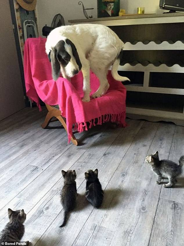 Help me! This old dog can't cope when surrounded by four little kittens, who appear to be closing in on him, and leaps on a chair for safety