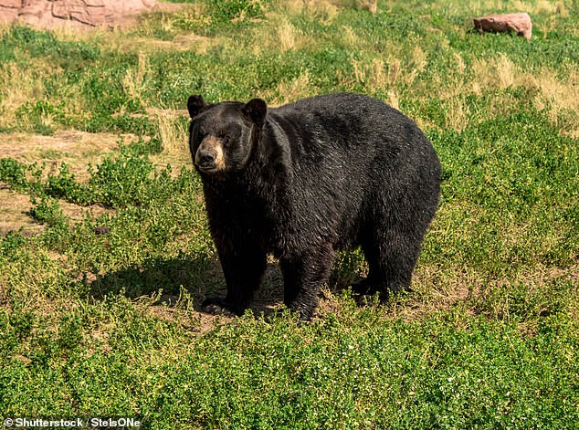 A bear has been put down after it was found scavenging on the remains of a 43-year-old man at a campsite in North Carolina (file photo of a bear)