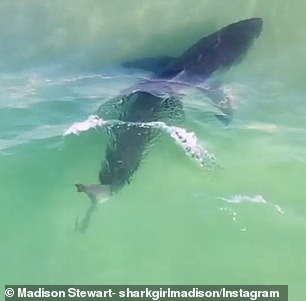 The shark was swimming in shallow waters in far northern NSW