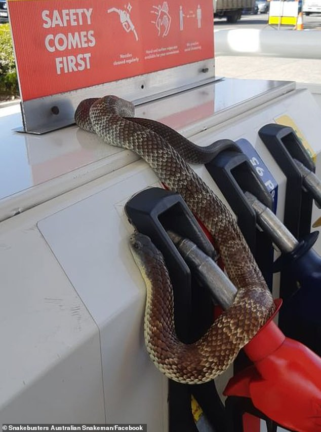 Snake catcher Raymond Hoser has seen a huge spike in the number of call outs for eastern brown, copperhead and tiger snakes (pictured)