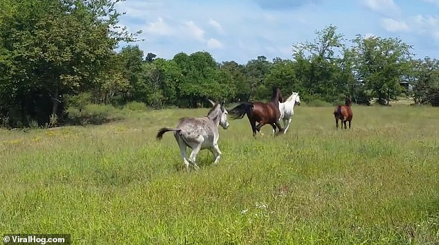 A donkey follows in close pursuit and the four animals continue to run towards the hedge