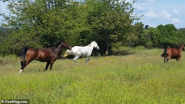 The three horses gallop across a pasture in Mountain View, Arkansas