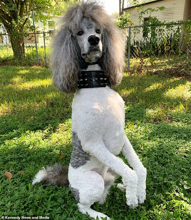 Standard poodle Onyx, two, from Lakeland, Florida, boasts a huge curly grey bouffant that bears a striking resemblance to Brian May's beloved hairdo