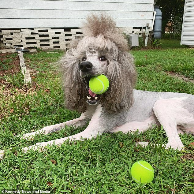 The standard poodle playing with tennis balls. His owner Rose Haley, 23, said the pooch had a big personality