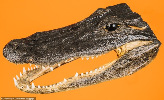 Even in the land of oddities that is Unclaimed Baggage, this alligator head registers as a surprising find (actual item pictured)