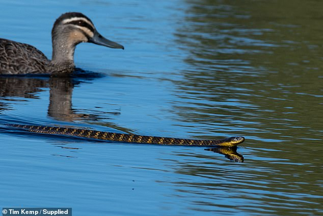 Tiger snakes are extremely venomous to humans and can prey on small birds and mammals