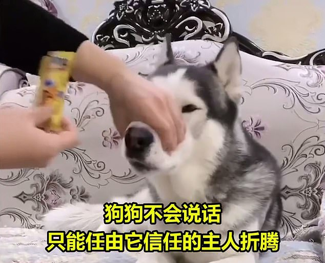 A clip sees a pet owner forcing popping candy down a husky's throat while gripping the pet's mouth to keep it closed. The new online trend has also faced a fierce backlash from horrified animal lovers who urge Chinese authorities to shut down these social media accounts