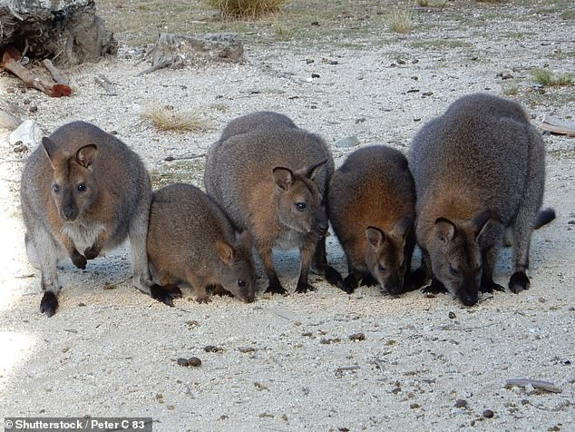 While the Strzelecki National Park, in the south-west corner of Flinders, allows travellers to get up close and personal with native wildlife including wallabies (pictured)