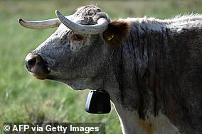 English Longhorn cattle have grazed in Epping Forest for over a thousand years