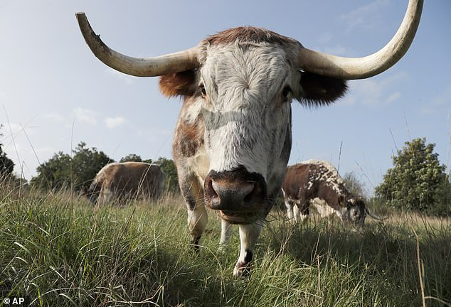 A herd of Longhorn cattle was let out to graze at one of London's oldest parks today