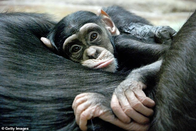 Studying several communities of chimps in Ivory Coast'sTaї National Park for more than 30 years, the scientists found that male orphans had fewer offspring and were less competitive as adults
