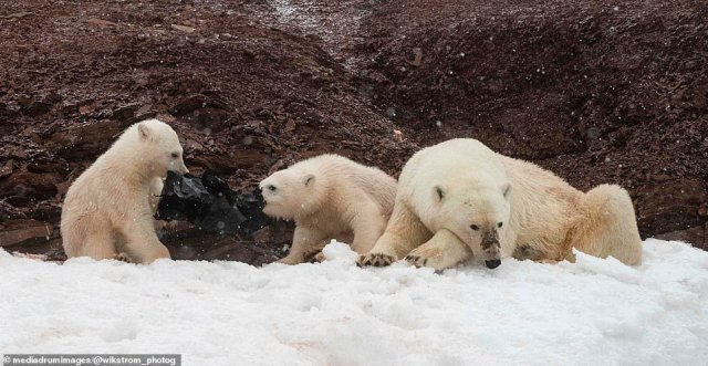 Mr Wikström was appalled by the pollution, and watched in horror as the mammals played with the plastic for 15 minutes