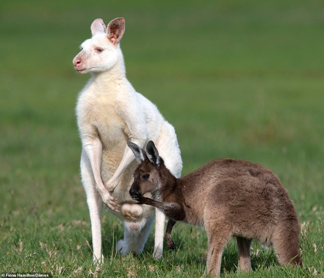 Albino kangaroos can have issues with hunting due to their poor eyesight, finding a mate and staying away from predators