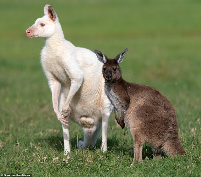 The snow white joey was born at Panorama Garden Estate on the Mornington Peninsula, south east of Melbourne, last month