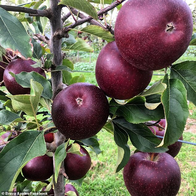 A couple of Western Australian grown apples have been revealed to be the healthiest to eat in the world (stock image)