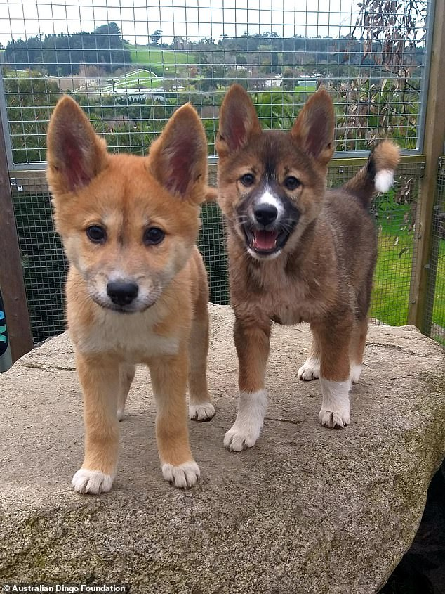 Sooty (right) with his den mateSassafras (left) at the Australian Dingo Foundation sanctuary in Melton, 35 minutes northeast of Melbourne. He will now be part of a conservation breeding program to ensure that alpine dingoes do not go extinct