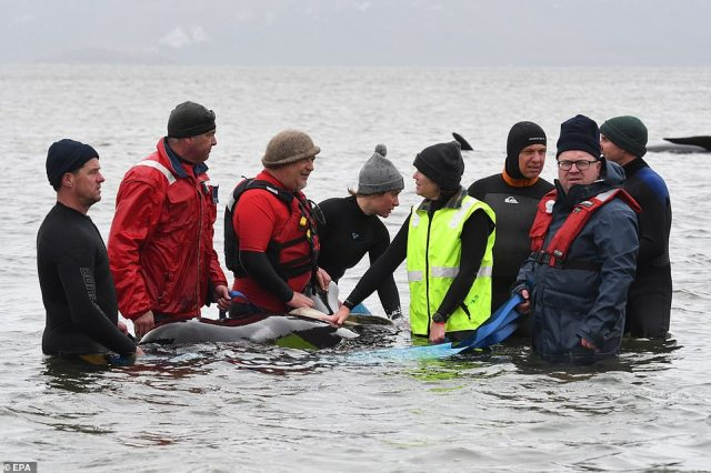 Sixty rescuers, including local fishermen and volunteers, are working in teams to help free the animals - using harnesses fitted to boats to guide them back out to sea