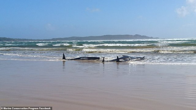Beached whales most often die of dehydration. The animals have a very thick layer of blubber that keeps them warm in deep-sea temperatures, but causes them to rapidly overheat near the surface