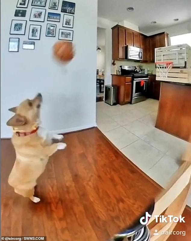Lilo, a five-year-old Corgi, has a unique talent for scoring basketball shots which she developed over lockdown