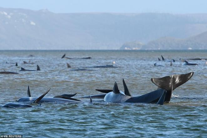 The stranded pod of pilot whales (pictured on Monday) spread across two sandbars and a beach off Tasmania's west coast