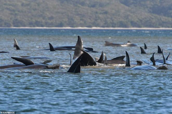 Beached whales most-often died of dehydration as thick coats of blubber designed to keep them warm in the deep sea cause them overheat close to the surface - meaning cool temperatures in Tasmania should keep them alive longer