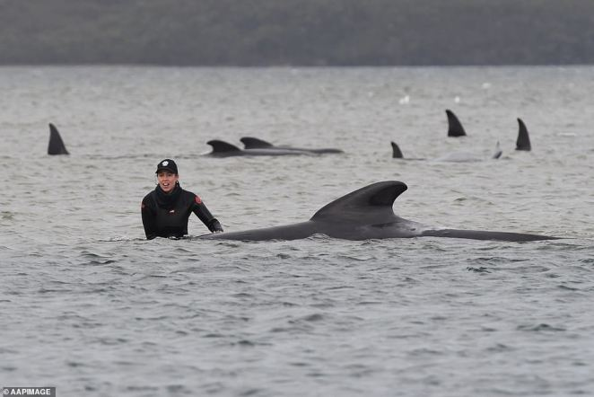 Scientists do not know how or why pods of whales become beached, but speculate the group could have become disoriented after feeding near the sandbar, or else followed members of the pod who strayed off-course