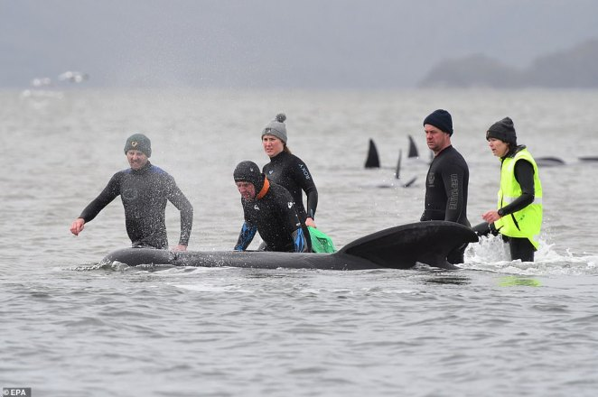 Rescue workers in thermal wetsuits to prevent hypothermia work to try and free a pilot whale stranded on a shallow sandbar near Macquaire Harbour