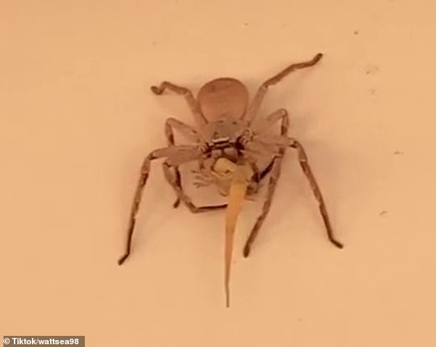 She said the sight was not unusual but a surprise as lizards were harder for a 'helping house guest' to digest. Pictured: The huntsman spider eating a lizard at a Western Australia home