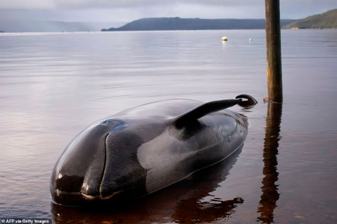 A pilot whale is washed up during the mass stranding on theMacquarie Harbour on Tasmania's west coast